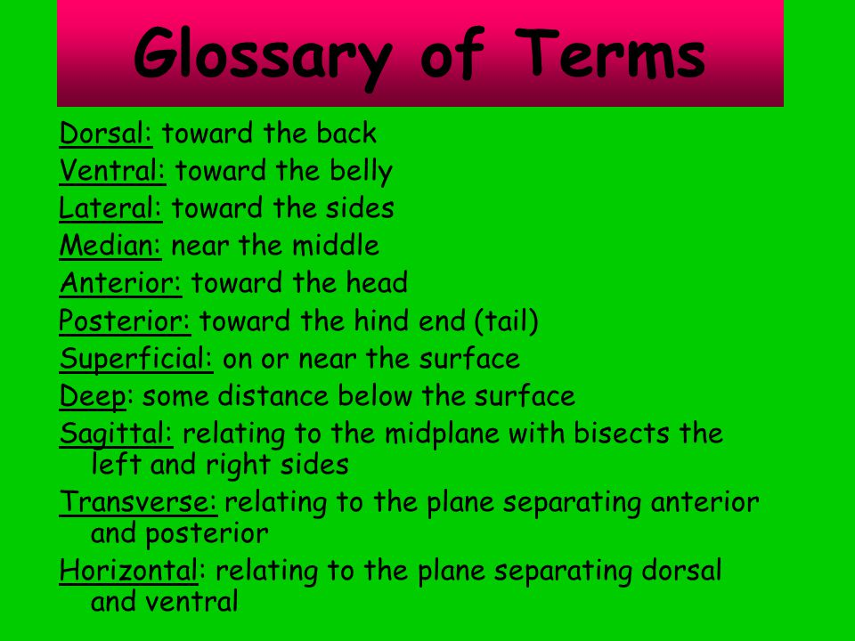 Glossary of Terms Dorsal: toward the back Ventral: toward the belly