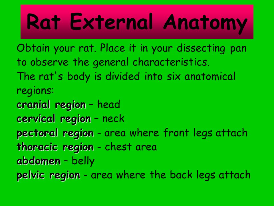 Rat External Anatomy Obtain your rat. Place it in your dissecting pan