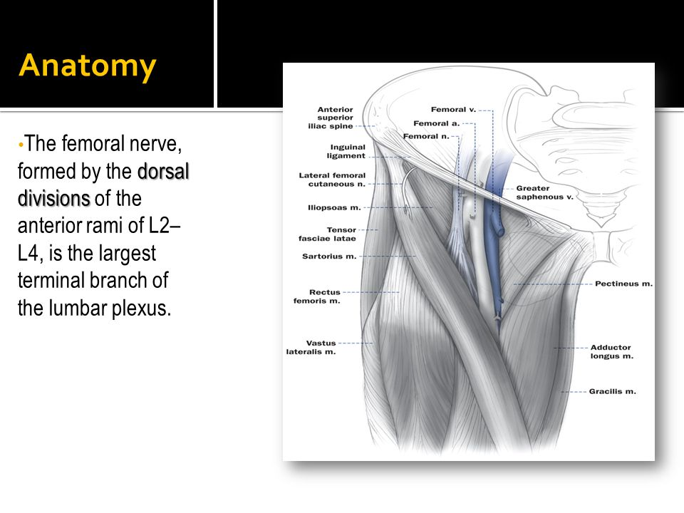 Anatomy The femoral nerve, formed by the dorsal divisions of the anterior rami of L2–L4, is the largest terminal branch of the lumbar plexus.