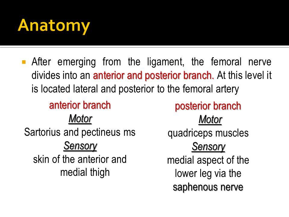 medial aspect of the lower leg via the saphenous nerve