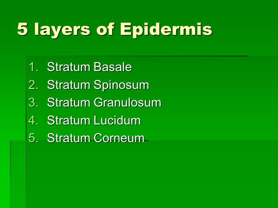 5 layers of Epidermis Stratum Basale Stratum Spinosum