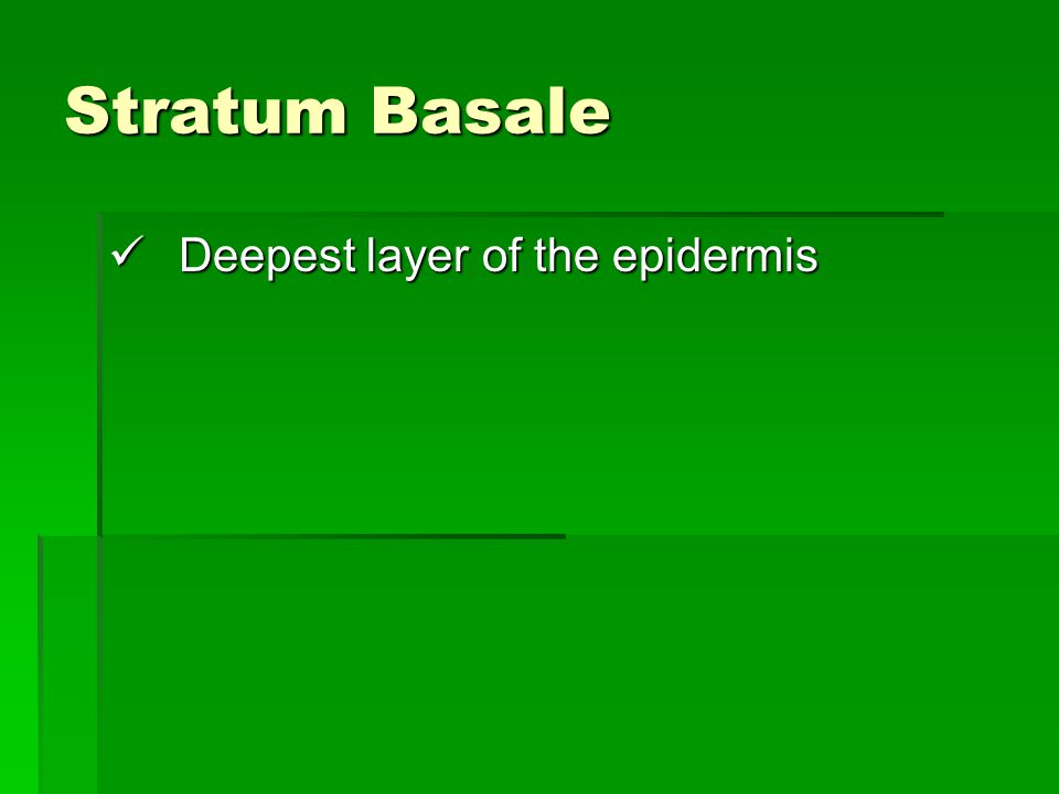 Stratum Basale Deepest layer of the epidermis