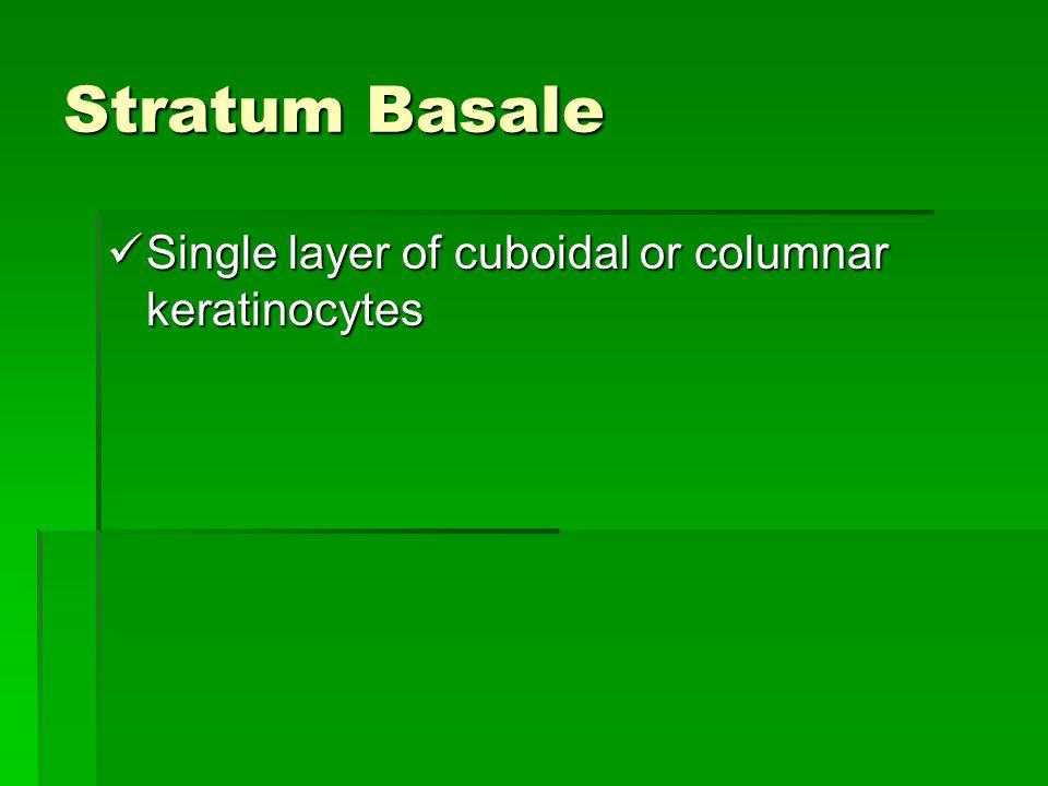 Stratum Basale Single layer of cuboidal or columnar keratinocytes
