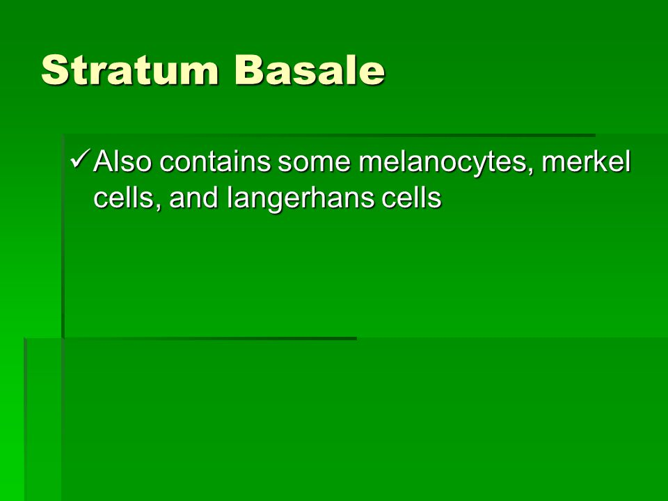Stratum Basale Also contains some melanocytes, merkel cells, and langerhans cells