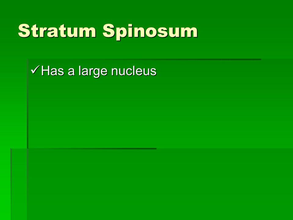 Stratum Spinosum Has a large nucleus