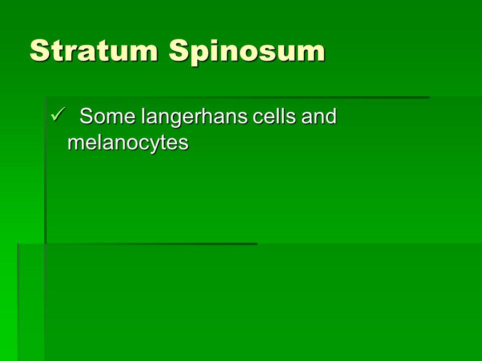 Stratum Spinosum Some langerhans cells and melanocytes