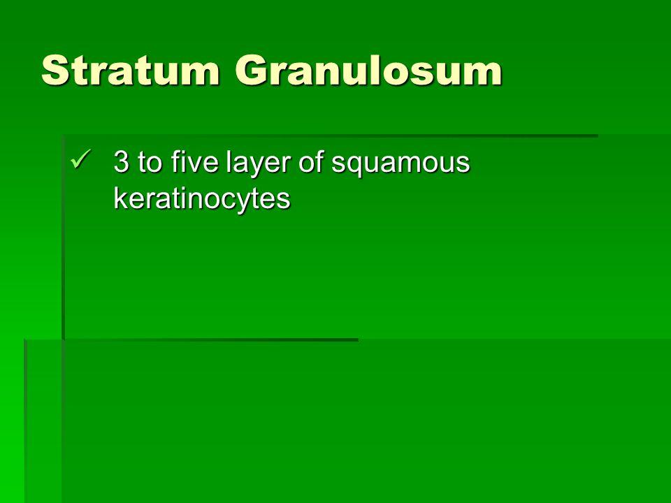 Stratum Granulosum 3 to five layer of squamous keratinocytes