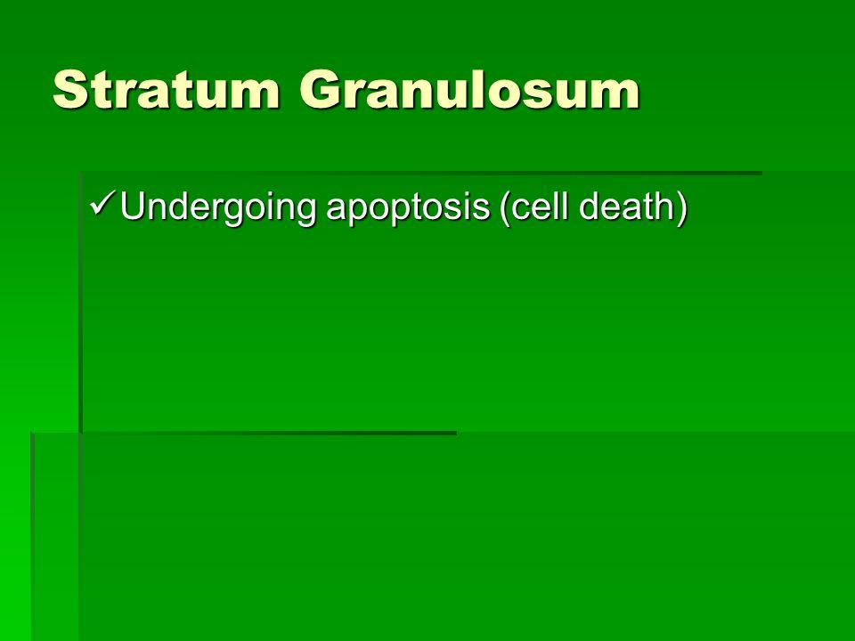 Stratum Granulosum Undergoing apoptosis (cell death)