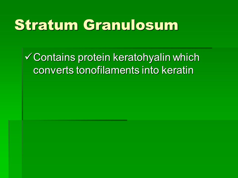 Stratum Granulosum Contains protein keratohyalin which converts tonofilaments into keratin