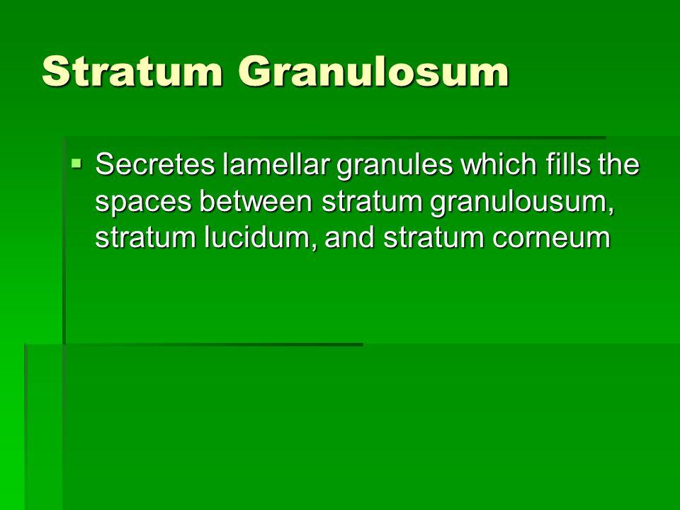 Stratum Granulosum Secretes lamellar granules which fills the spaces between stratum granulousum, stratum lucidum, and stratum corneum.
