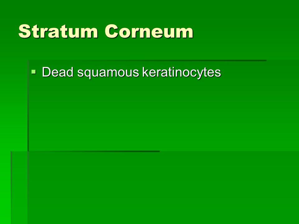 Stratum Corneum Dead squamous keratinocytes