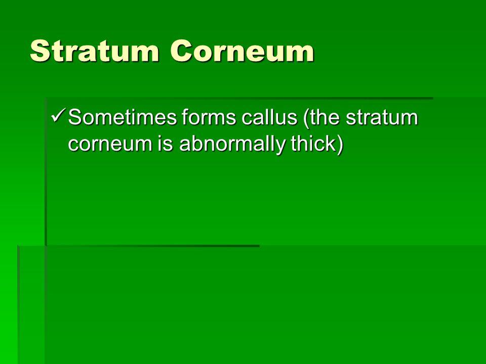 Stratum Corneum Sometimes forms callus (the stratum corneum is abnormally thick)