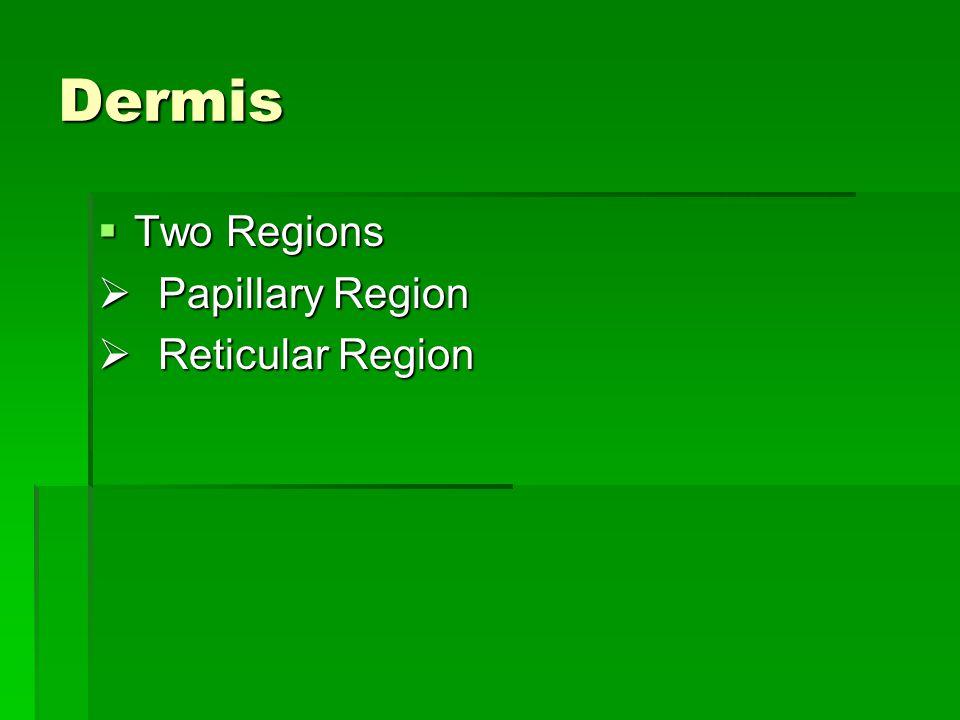 Dermis Two Regions Papillary Region Reticular Region