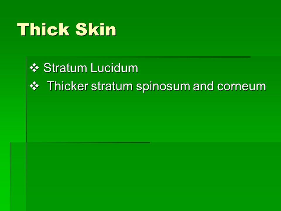 Thick Skin Stratum Lucidum Thicker stratum spinosum and corneum