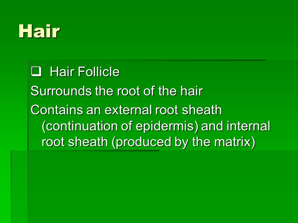 Hair Hair Follicle Surrounds the root of the hair
