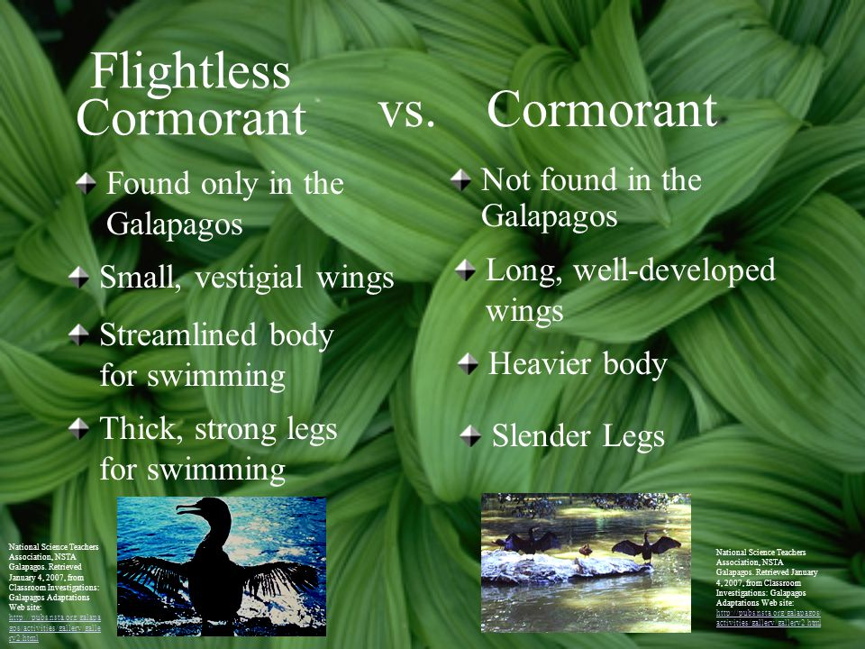 Flightless Cormorant vs. Cormorant Found only in the Galapagos