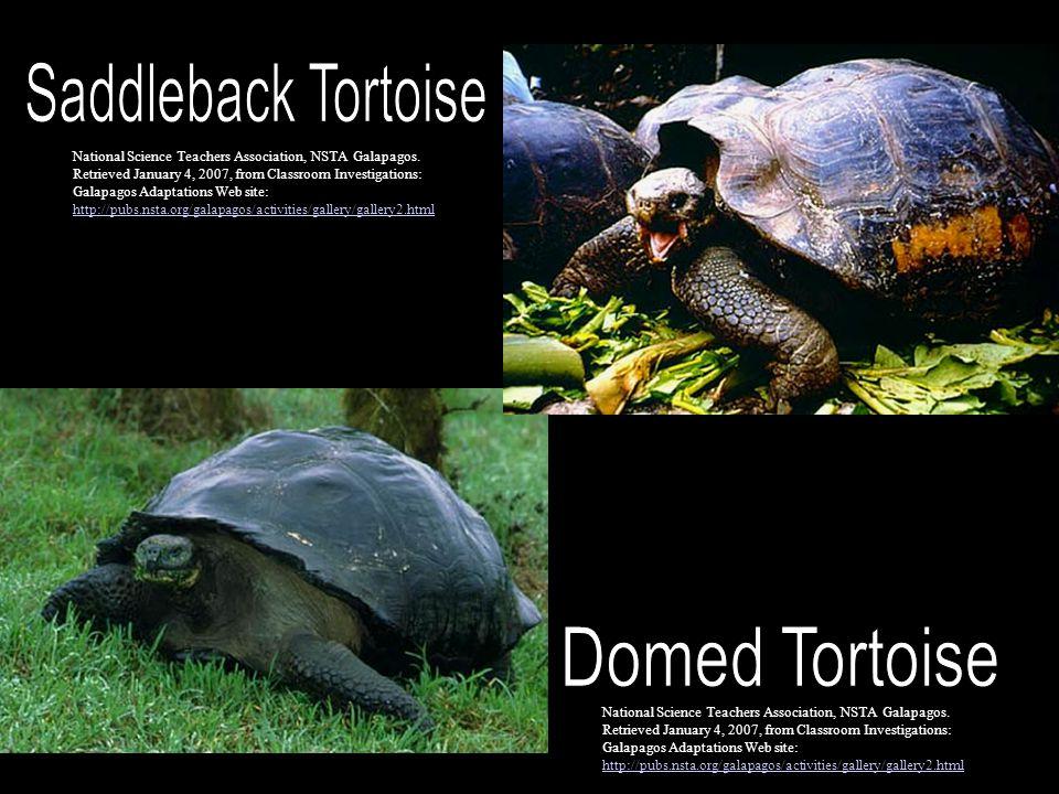 Saddleback Tortoise Domed Tortoise
