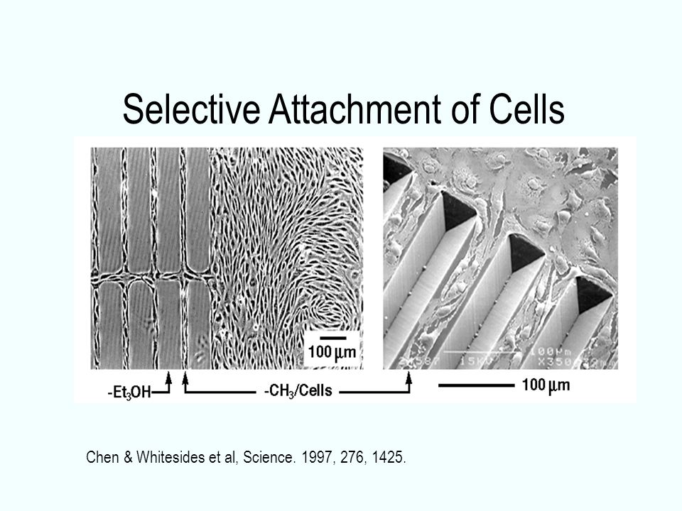Selective Attachment of Cells