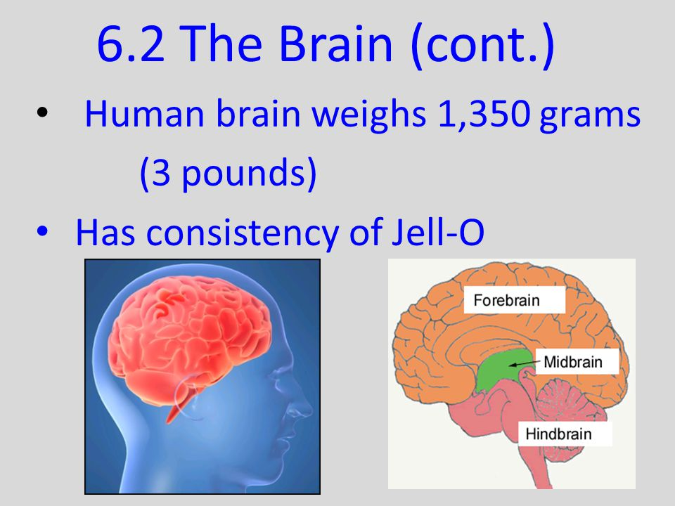 6.2 The Brain (cont.) Human brain weighs 1,350 grams (3 pounds)