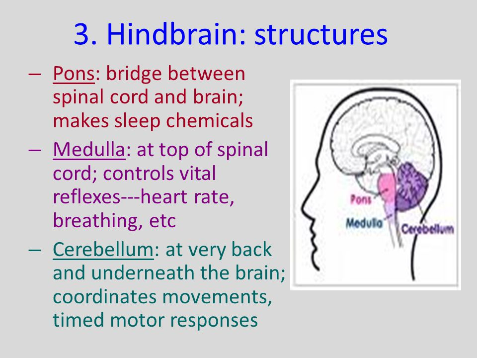 3. Hindbrain: structures