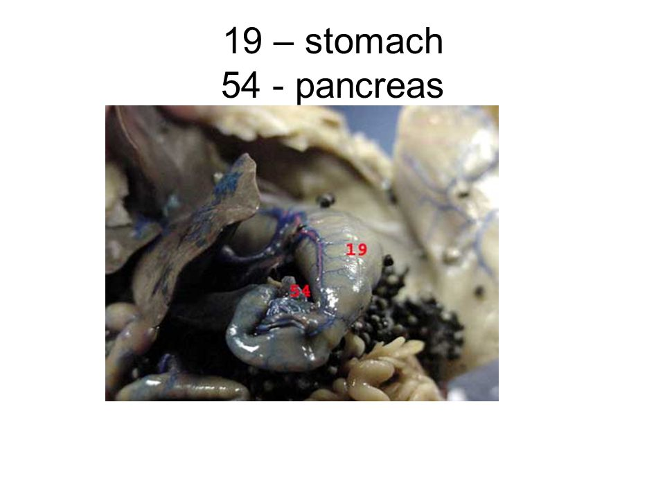 19 – stomach 54 - pancreas