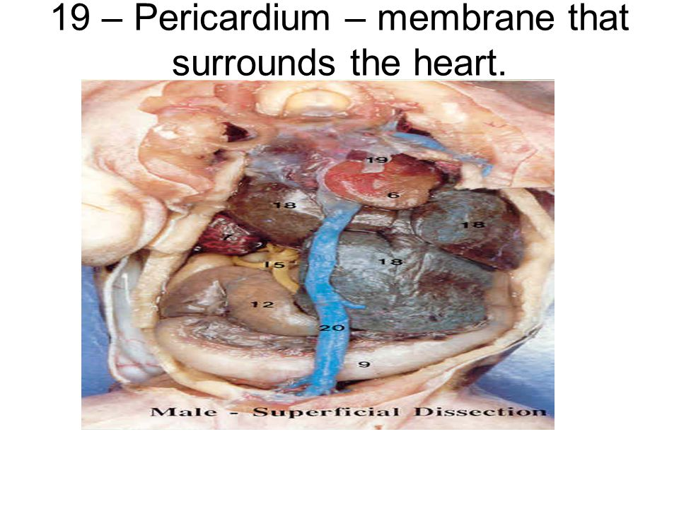 19 – Pericardium – membrane that surrounds the heart.