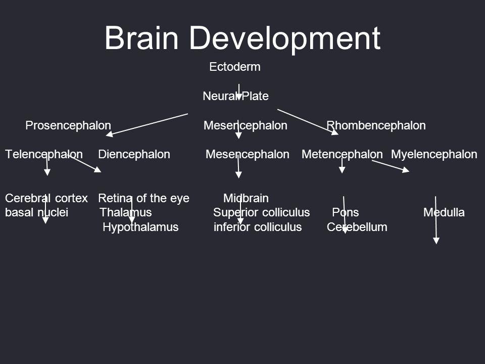 Brain Development Ectoderm Neural Plate