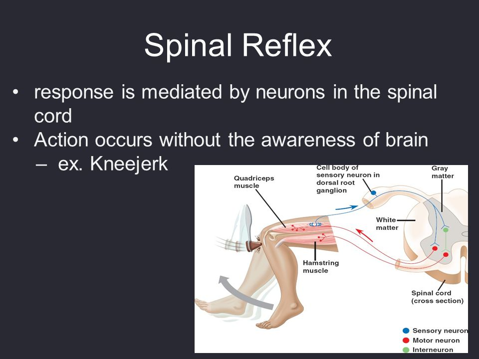 Spinal Reflex response is mediated by neurons in the spinal cord