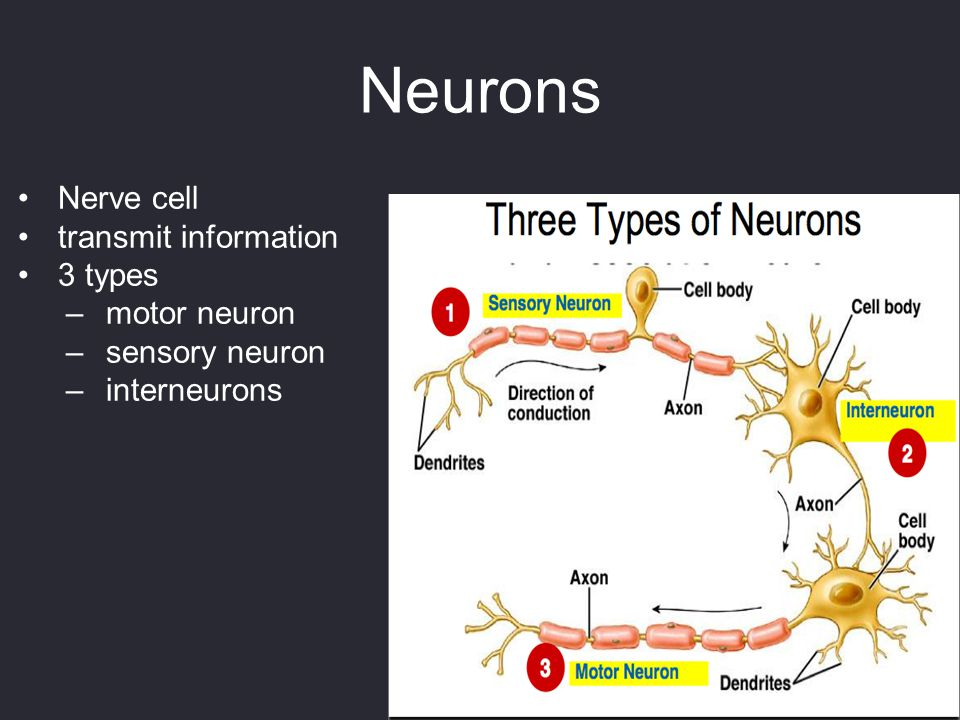 Neurons Nerve cell transmit information 3 types motor neuron