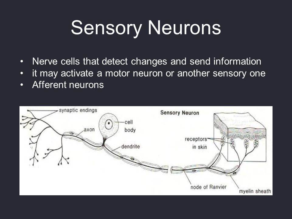 Sensory Neurons Nerve cells that detect changes and send information