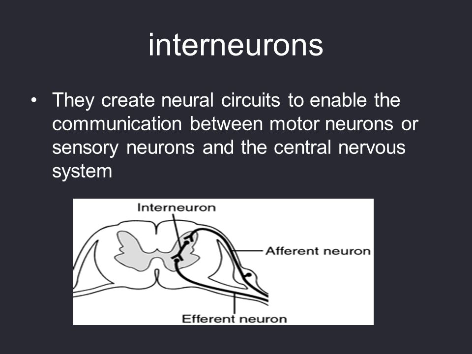 interneurons They create neural circuits to enable the communication between motor neurons or sensory neurons and the central nervous system.