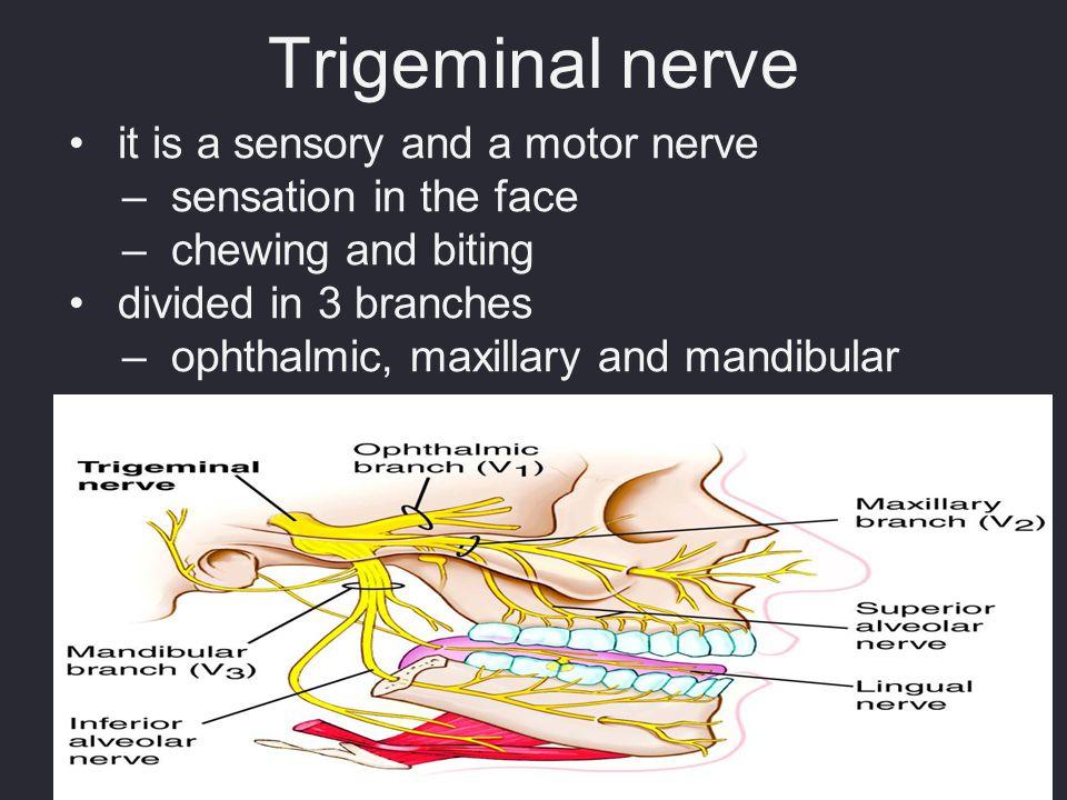 Trigeminal nerve it is a sensory and a motor nerve
