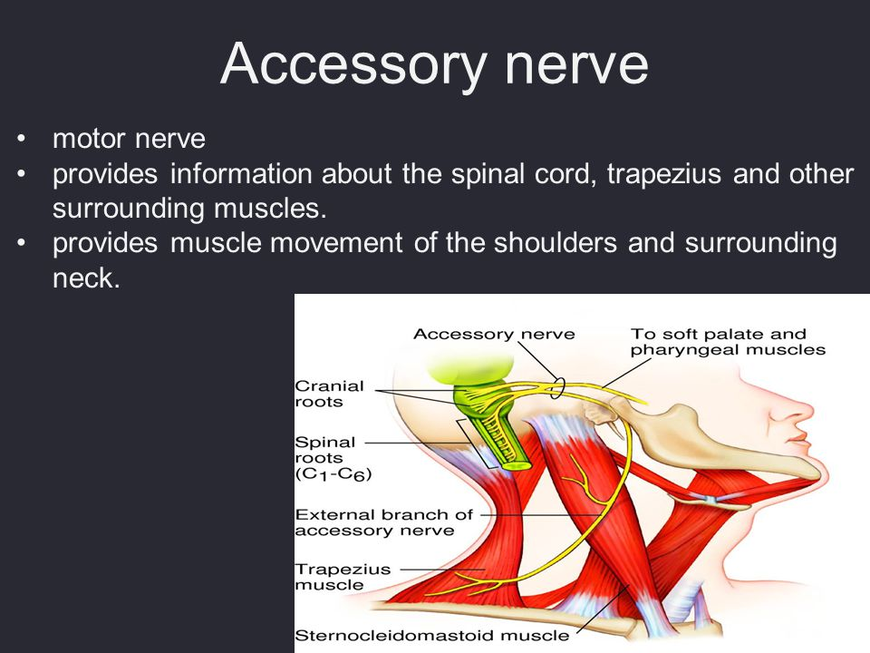 Accessory nerve motor nerve