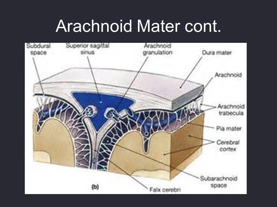 Arachnoid Mater cont.
