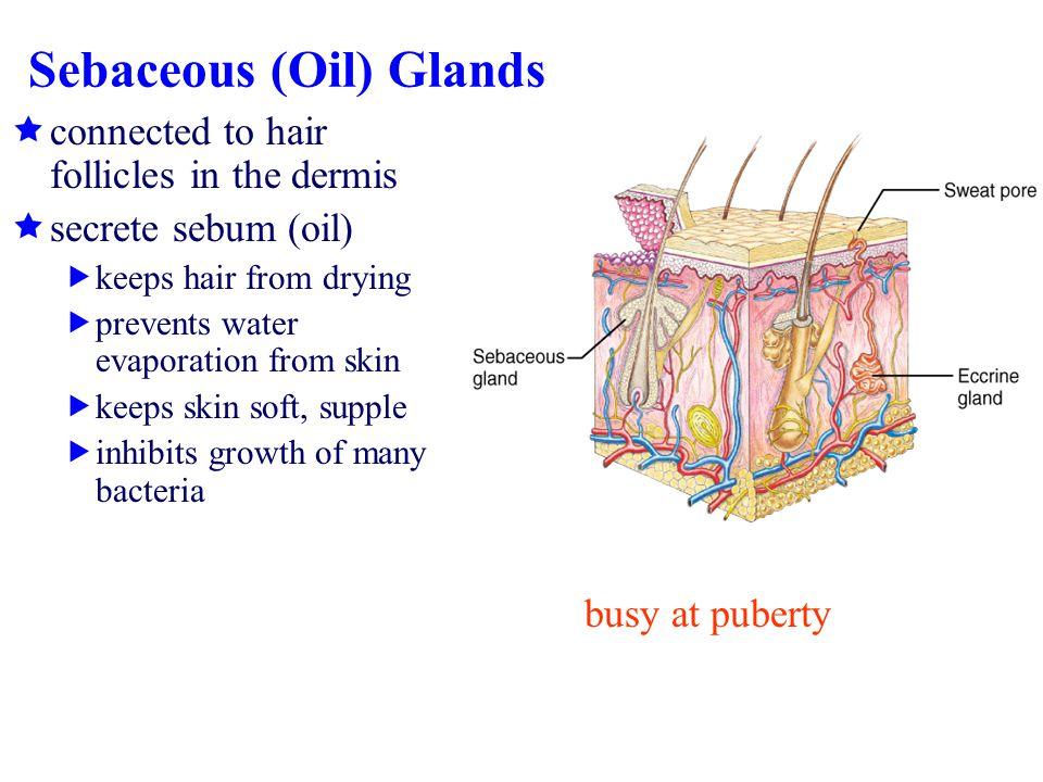Sebaceous (Oil) Glands