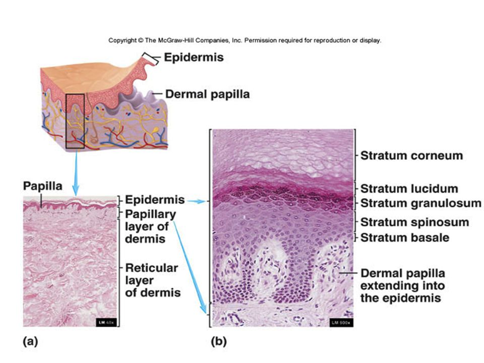 Fig. 5.2 Papillae = nipples