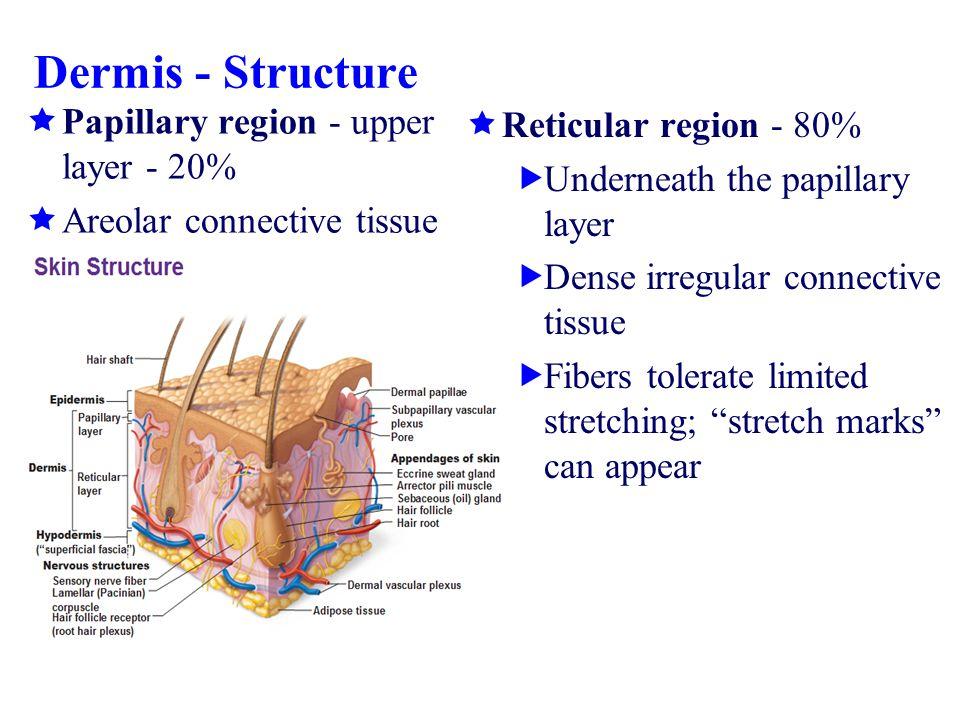 Dermis - Structure Papillary region - upper layer - 20%