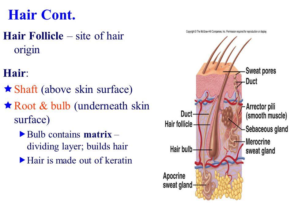 Hair Cont. Hair Follicle – site of hair origin Hair: