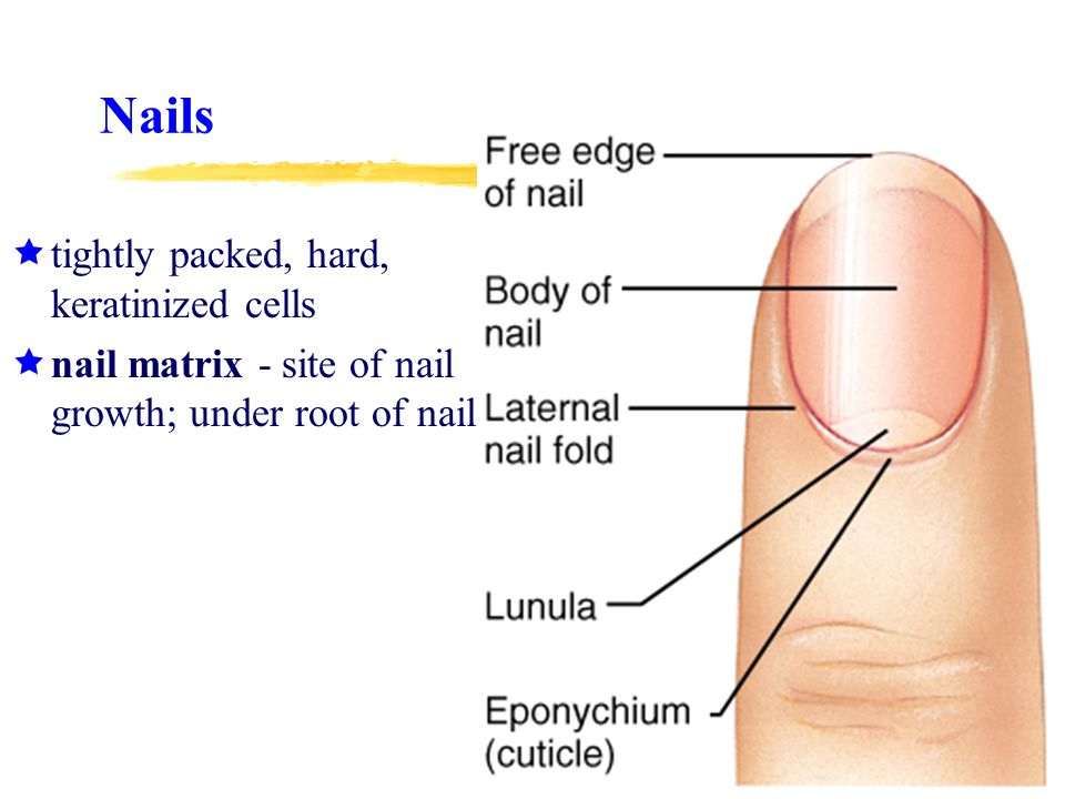 Nails tightly packed, hard, keratinized cells