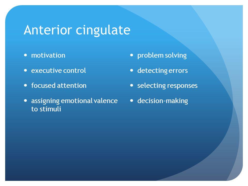 Anterior cingulate motivation executive control focused attention