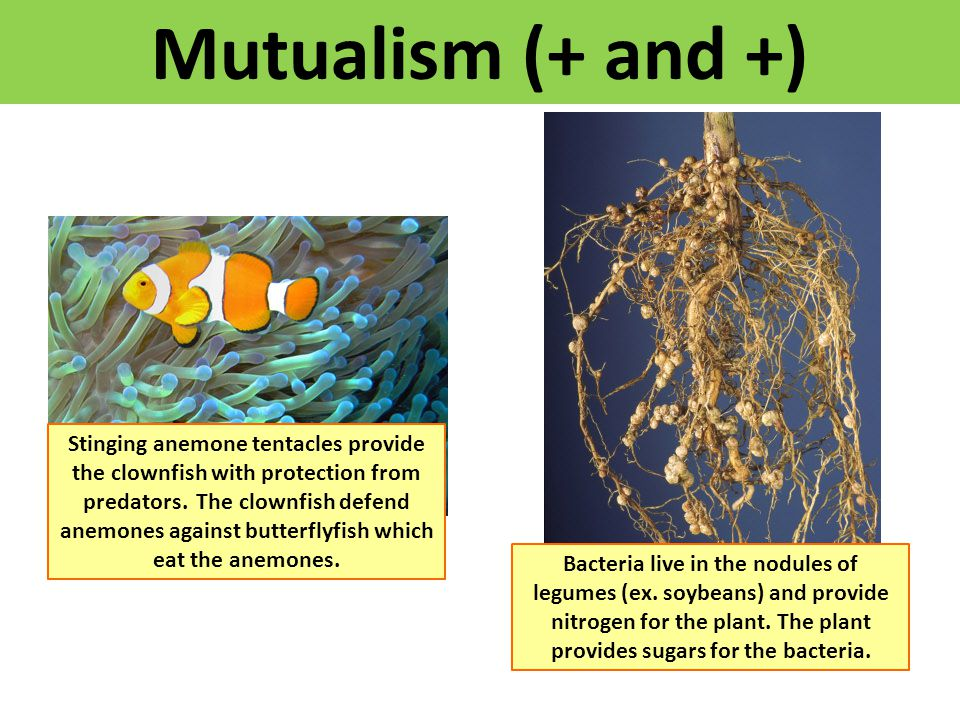 Mutualism (+ and +)
