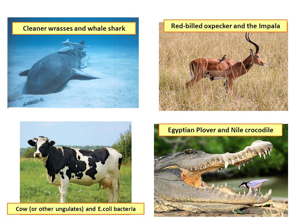Red-billed oxpecker and the Impala Cleaner wrasses and whale shark