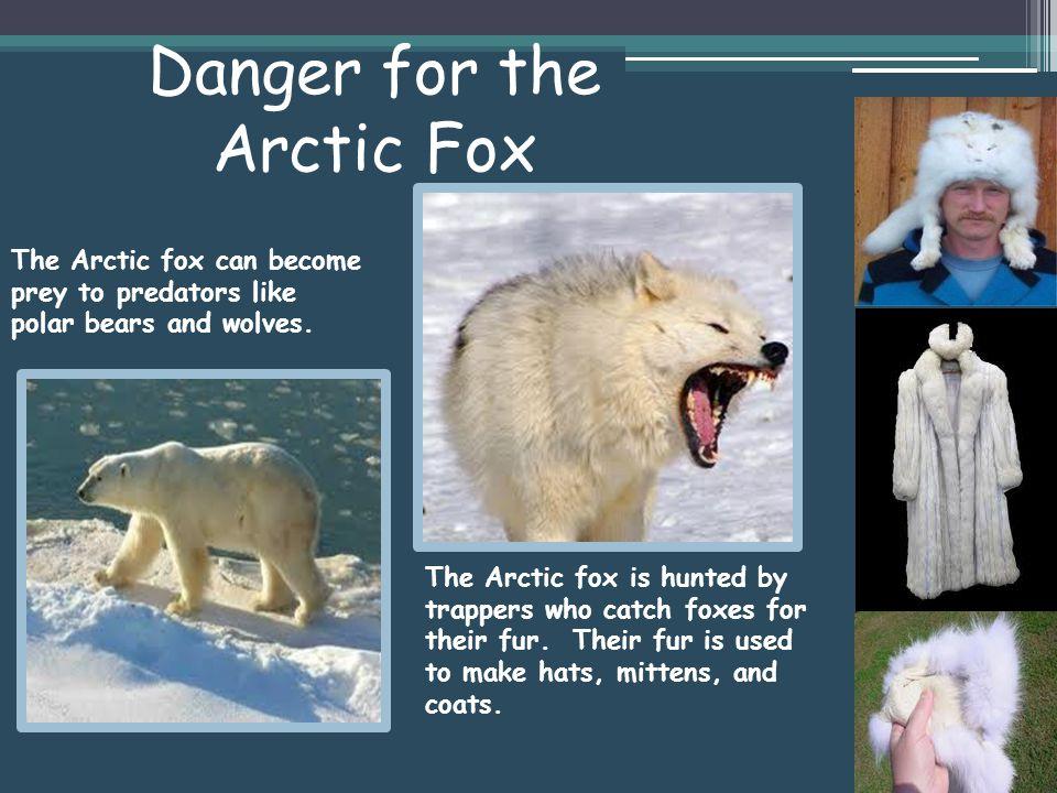 Danger for the Arctic Fox