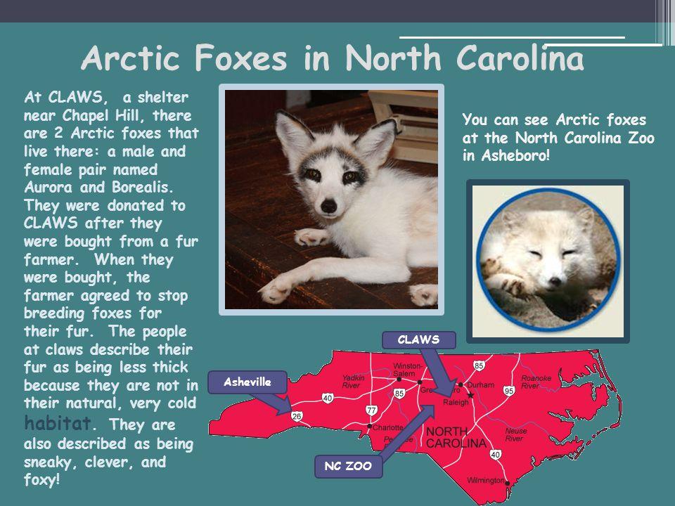 Arctic Foxes in North Carolina