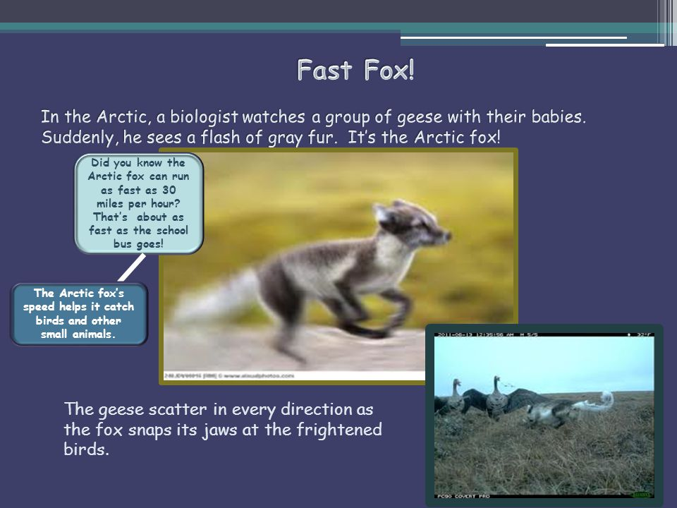 The Arctic fox's speed helps it catch birds and other small animals.