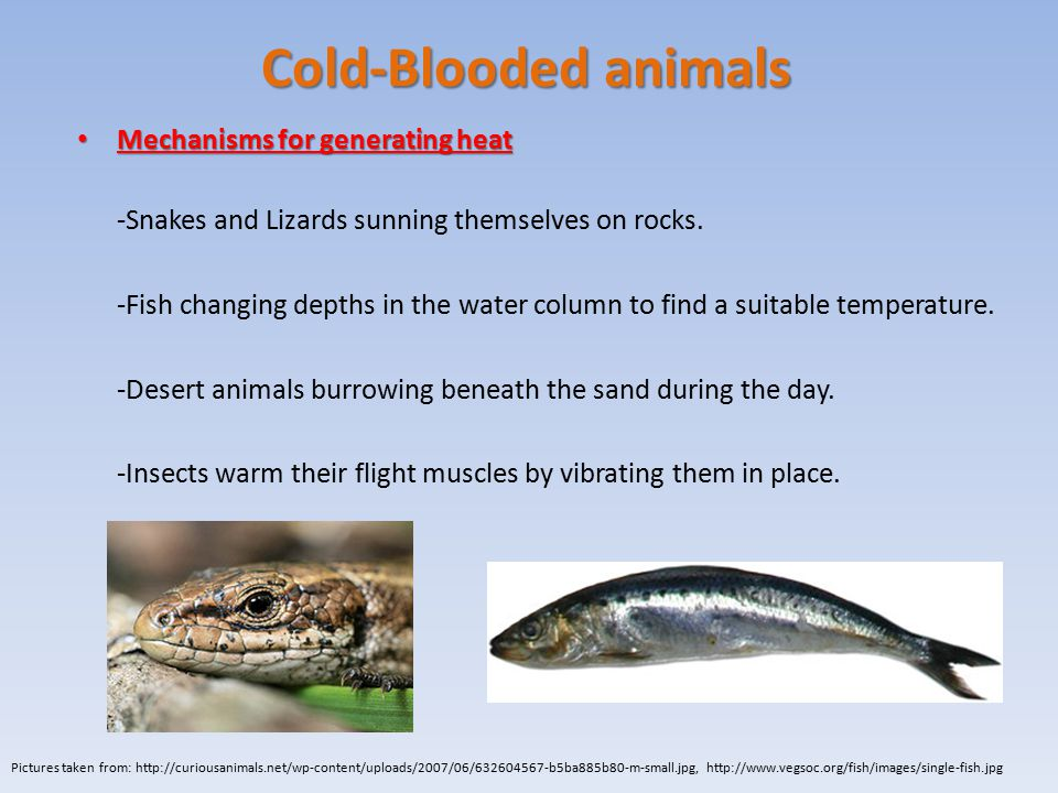 Cold-Blooded animals Mechanisms for generating heat