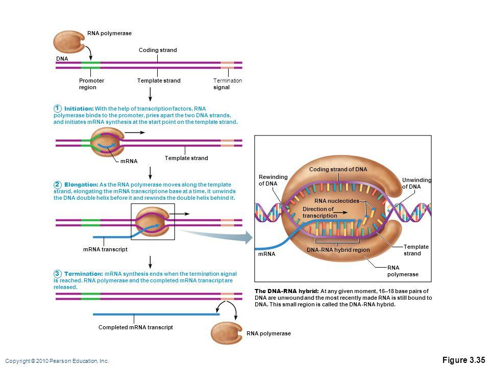 Figure 3.35 1 2 3 RNA polymerase Coding strand DNA Promoter region