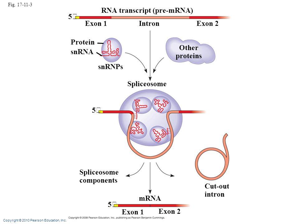RNA transcript (pre-mRNA) 5 Exon 1 Intron Exon 2