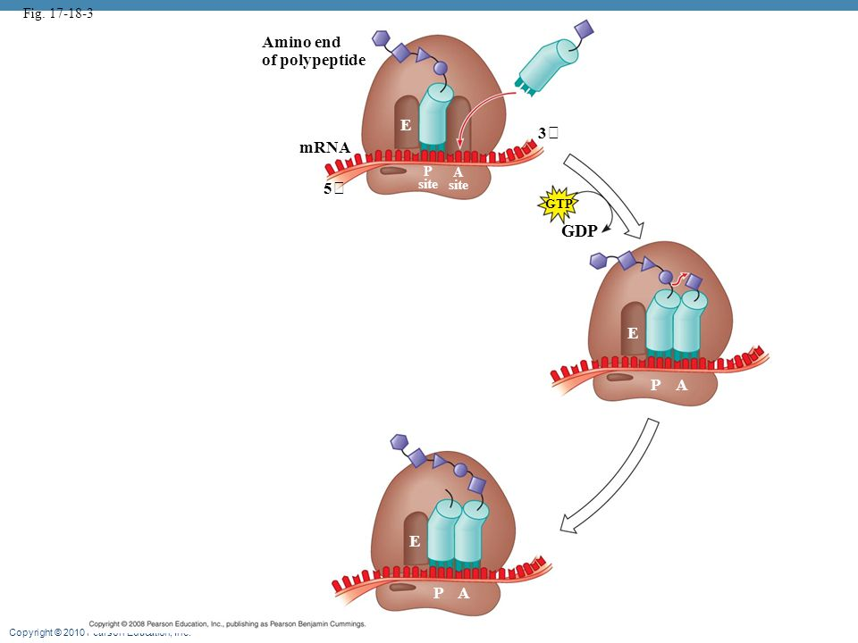 GDP Amino end of polypeptide E 3 mRNA 5 E P A E P A Fig. 17-18-3 P A