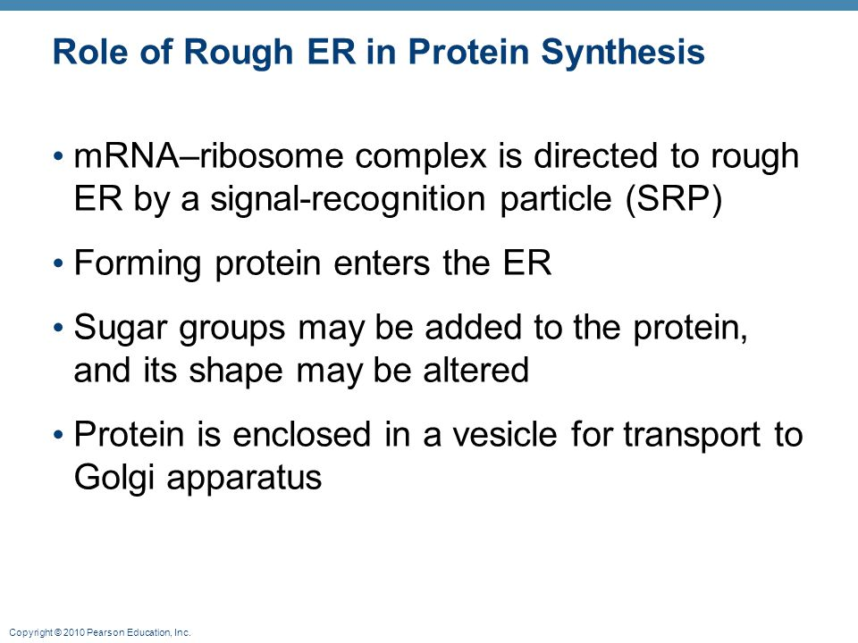 Role of Rough ER in Protein Synthesis